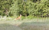 pic of roebuck  - Roebuck jumping on hayfield near green forest - JPG