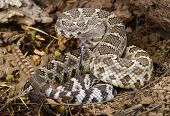 foto of venomous animals  - Portrait of a Southern Pacific Rattlesnake  - JPG
