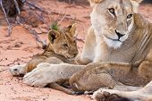 foto of youngster  - Lion cub play with mother on sand with love