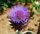 Giant Thistle Flower