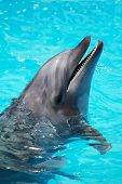 stock photo of oceanography  - Dolphin swimming in blue swimming pool water - JPG