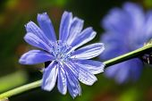 picture of chicory  - Close up Blue Chicory flower  - JPG