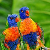 stock photo of lorikeets  - pair of brightly colored rainbow lorikeet parrots - JPG