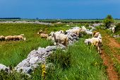 Grazing Sheeps