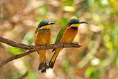 picture of ethiopia  - Little Bee Eaters  - JPG