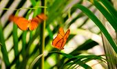 foto of flambeau  - Two Julia Butterflies in a butterfly house. One is resting on a leaf while the other is flying towards him.
