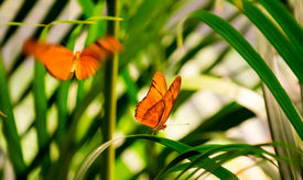 stock photo of flambeau  - Two Julia Butterflies in a butterfly house. One is resting on a leaf while the other is flying towards him. ** Note: Slight blurriness, best at smaller sizes - JPG