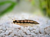 stock photo of loach  - Dwarf Chain Loach Catfish Jaguar Loach Yasuhikotakia sidthimunki - JPG