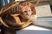foto of minion  - funny ginger kitten lay curl into the basket warm on summer sun - JPG