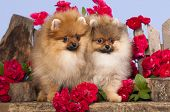 picture of pomeranian  - pomeranian spitz puppies and flowers roses - JPG