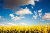 picture of rape  - Yellow rapes flowers and blue sky with white fluffy clouds - JPG