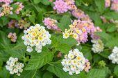 picture of lantana  - Lantana camara Linn flowers in the garden - JPG