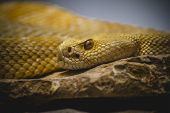 stock photo of western diamondback rattlesnake  - Beautiful snake lying in the sun with fine scales on their skin - JPG