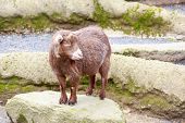 foto of pygmy goat  - Brown pygmy goat standing on a rock - JPG