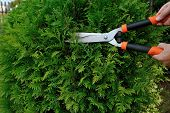 pic of prunes  - Pruning bushes in the garden - JPG
