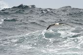 picture of albatross  - Black - JPG
