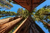 picture of sequoia-trees  - Giant sequoia trees in Sequoia National Park - JPG