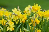 foto of narcissi  - Daffodils closeup. Field with yellow daffodils  (narcissi).