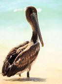picture of playa del carmen  - Beautiful brown pelican on mexican beach in Playa del Carmen - JPG