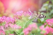 foto of nymphs  - Beautiful paper kite butterfly  - JPG
