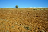 picture of plowing  - Lonely tree and plowed land in Turkey - JPG