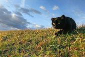 stock photo of sneak  - A black cat with a damaged ear sneaking in the grass on a meadow - JPG