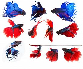 stock photo of fighter-fish  - mixed of blue and red siamese fighting fish betta full body under water isolated white background - JPG