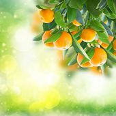 pic of tangerine-tree  - Garden with tangerine tree branches in green garden - JPG
