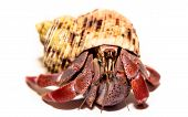 stock photo of crab  - this is an image of one of my hermit crabs - JPG