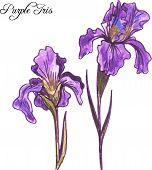 stock photo of purple iris  - hand drawn watercolor vector illustration with purple iris flowers - JPG