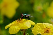 stock photo of blowfly  - A green fly on a yellow flower - JPG