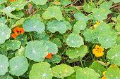image of nasturtium  - closeup plant green nasturtium in the garden - JPG