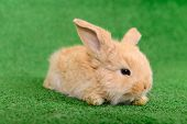 picture of cony  - little newborn rabbit on a green background - JPG
