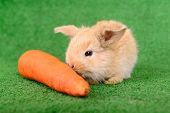 picture of cony  - newborn little rabbit eating a carrot on a green background - JPG