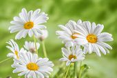 picture of chamomile  - Green grass and chamomiles in the nature - JPG