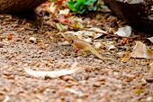 picture of fanny  - Brown lizard in park  - JPG