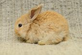 image of cony  - newborn little brown rabbit with long ears - JPG