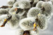 picture of willow  - Close up photo of the grey willow - JPG