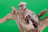 picture of hawk  - young chick hawk sitting on a wooden driftwood on a green background - JPG