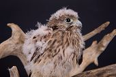 pic of driftwood  - young chick hawk sitting on a wooden driftwood on a dark background - JPG