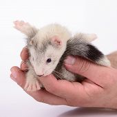 stock photo of ferrets  - small animal rodent ferret in human hand on a white background - JPG