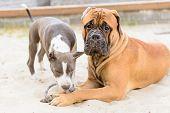 stock photo of bull-mastiff  - two dogs - JPG
