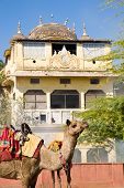 picture of rajasthani  - A colorful camel on the street in front of traditional building between Jaipur and Amber in Rajasthan India - JPG
