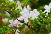 foto of azalea  - Pink azaleas in the park close up and soft focus - JPG