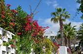 picture of magnolia  - Fence with bougainvillea on Magnolia Street in Los Gigantes town in bright light of tropic sun Tenerife Island Canary Islands Spain.