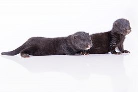 image of mink  - two small black animals mink on a white background - JPG