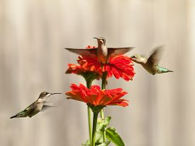 picture of hummingbirds  - Three Hummingbirds on flowers with fence in the background - JPG