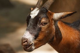 picture of goat horns  - Shooting close - JPG
