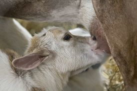 picture of baby goat  - Adorable baby goat feeds from mother goat - JPG