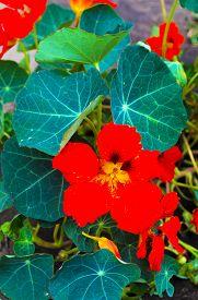 pic of nasturtium  - Nasturtiums orange colors - JPG